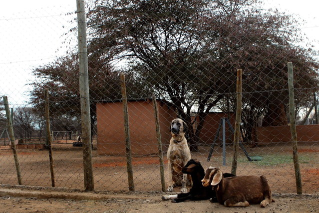 An Anotolian Sheperd dog and two goats sit at The Cheetah Conservation Fund (CCF) in Otjiwarongo, Namibia, on August 13, 2013. The CCF started breeding Anatolian livestock dogs to promote cheetah-friendly farming after some 10,000 big cats – the current total worldwide population – were killed or moved off farms in the 1980s.  Up to 1,000 cheetahs were being killed a year, mostly by farmers who saw them as livestock killers. But the use of dogs has slashed losses for sheep and goat farmers and led to less retaliation against the vulnerable cheetah. (Photo by Jennifer Bruce/AFP Photo)