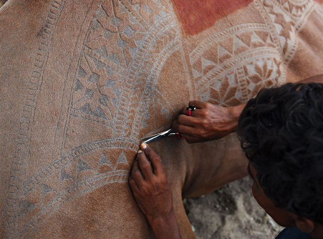 A Pakistani man creates a pattern design on a camel's skin at a market ahead of Eid al Adhal festival in Karachi on August 11, 2018. Muslims around the world will mark the upcoming Eid al-Adha, as the biggest holiday of the Islamic calendar, celebrated the Islamic festival Eid al-Adha by slaughtering sheep, goats, cows and camels to commemorate Prophet Abraham's willingness to sacrifice his son Ismail on God's command. (Photo by Rizwan Tabassum/AFP Photo)