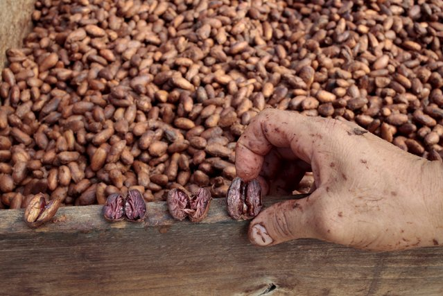"""A worker shows cocoa beans at the """"Jorge Salazar"""" Cooperative in the town El Tule in Matagalpa, Nicaragua January 8, 2016. (Photo by Oswaldo Rivas/Reuters)"""