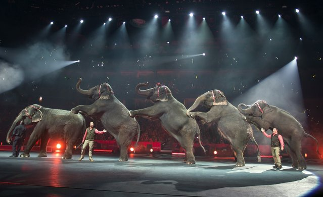 In this Jan. 3, 2015 photo provided by Feld Entertainment Inc., elephants perform at the Ringling Bros. and Barnum & Bailey Circus, at the Amalie Arena in Tampa, Fla. The Ringling Bros. and Barnum & Bailey Circus said it will phase out its iconic elephant acts by 2018. (AP Photo/Ho, Gary Bogdon, Feld Entertainment Inc.)