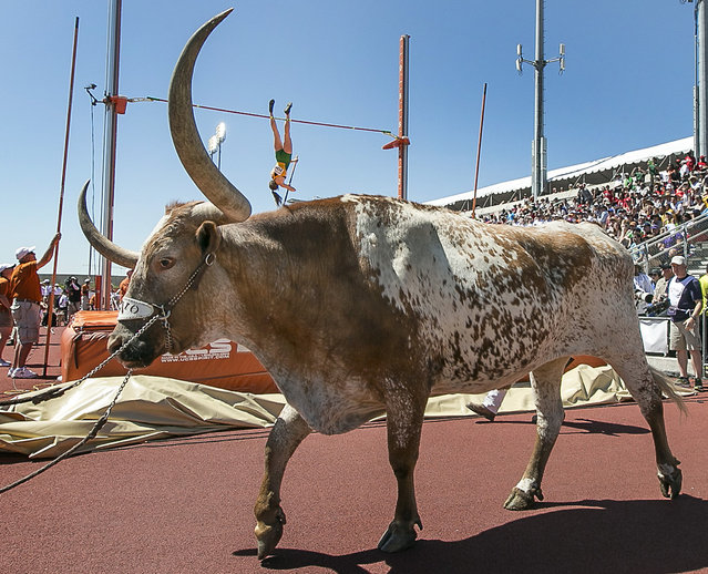 Baylor's Annie Rhodes, background, attempts to clear the bar in the women's pole vault as Texas mascot Bevo is led into the Texas Relays track and field meet in Austin, Texas, on Saturday, March 28, 2015. (Photo by Rodolfo Gonzalez/AP Photo/Austin American-Statesman)