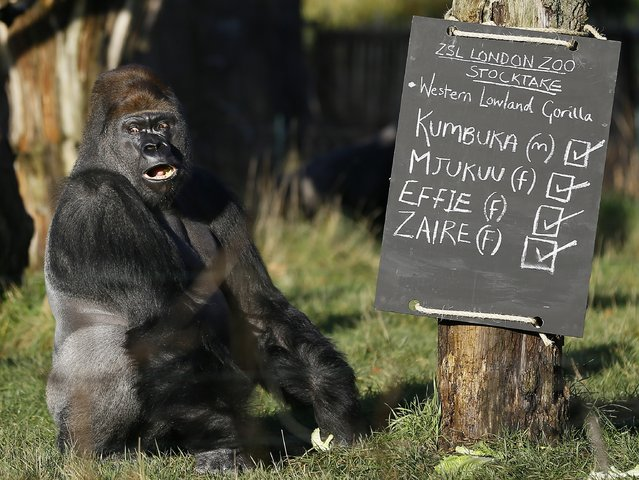 Kumbuka, a male silverback gorilla sits next to the keeper's chalk board in his enclosure at London Zoo, Thursday, January 2, 2014. Home to more than 850 different species, zoo keepers welcomed in the New Year armed with clipboards as they made a note of every single animal. The compulsory annual count is required as part of ZSL London Zoo's zoo license, and every creature, from the tiny leaf cutter ants to the huge silverback gorilla is duly noted and accounted for. (Photo by Kirsty Wigglesworth/AP Photo)