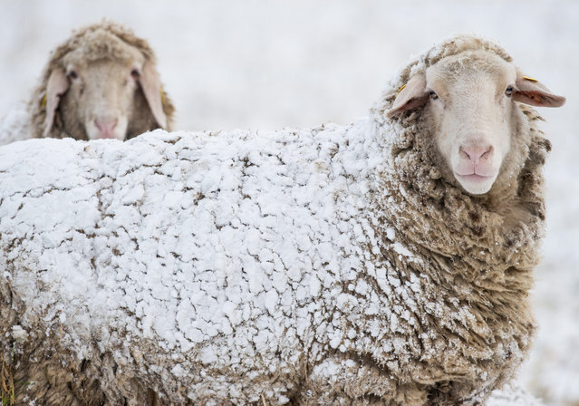 Sheep are covered with snow on a meadow near Sieversdorf, Brandenburg, Germany, 01 March 2016. March 01 marks the beginning of meteorological spring in the northern hemisphere. (Photo by Patrick Pleul/EPA)