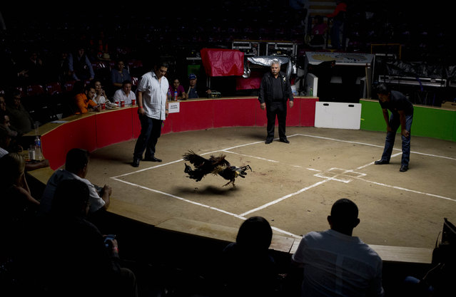 """In this April 11, 2015 photo, cocks fight in a ring known as a """"palenque"""" at the Texcoco Fair on the outskirts of Mexico City. Cockfighting is legal in Mexico, but betting on the fight is only legal at fairs and cockfighting centers called """"palenques"""". (Photo by Eduardo Verdugo/AP Photo)"""