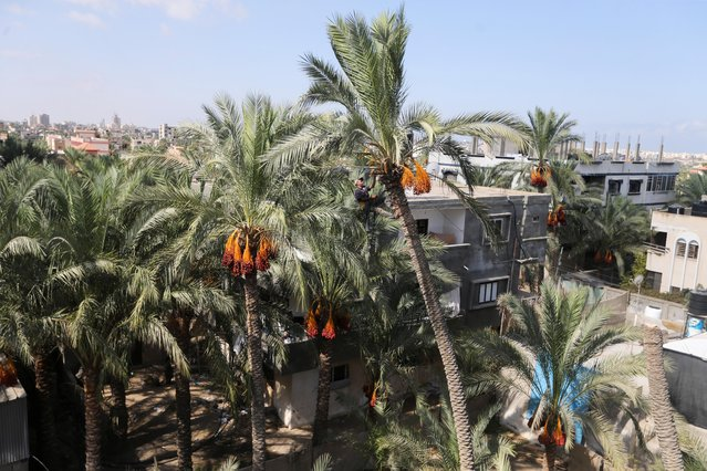 A Palestinian man harvests dates from a palm tree in Khan Younis, in the southern Gaza Strip, September 22, 2021. (Photo by Ibraheem Abu Mustafa/Reuters)