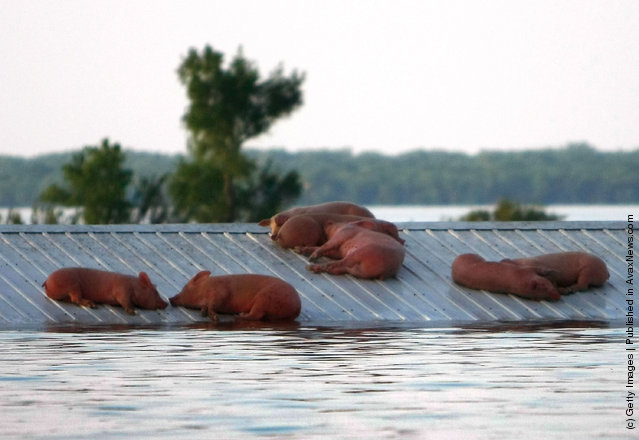 Hogs lie stranded on a roof June 18, 2008 as floodwaters overtake the town of Oakville, Iowa