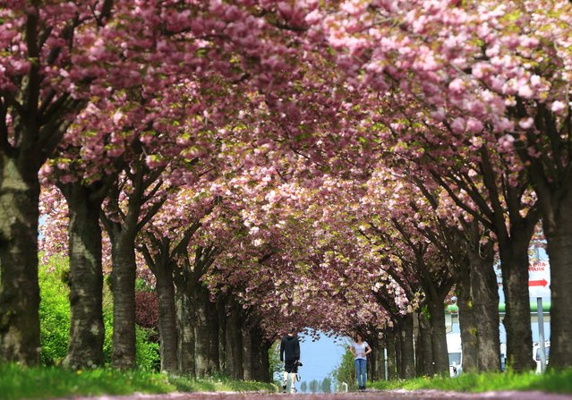 Strollers walk under blooming cherry trees in Magdeburg, eastern Germany, Monday, May 4, 2015. (Photo by Jens Wolf/AP Photo/DPA)