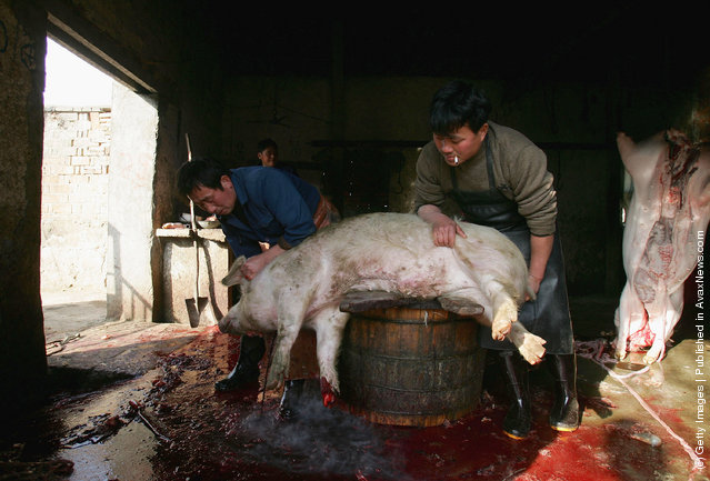 Chinese butchers slaughter a pig