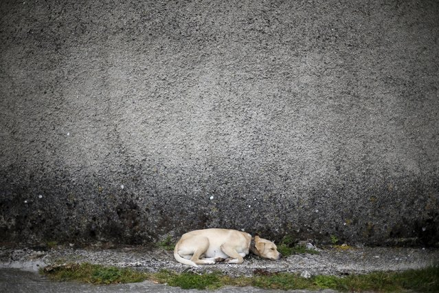 A dog sleeps at a street in Povoa de Agracoes, near Chaves, Portugal April 18, 2016. (Photo by Rafael Marchante/Reuters)
