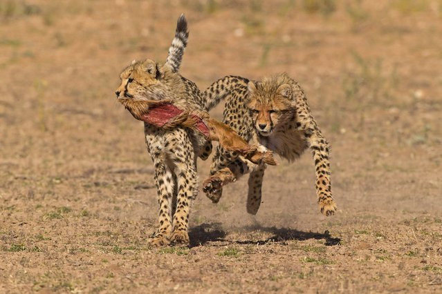"After having finished off a springbok, these two cheetah cubs were chasing each other, each wanting to hold on to the ""prize"", a piece of skin left over from a kill. Knowing the cubs would follow their mother, Brugger moved his car and was shocked that, ""the cubs not only walked straight towards my vehicle, but decided that they would chase each while playing with a piece of Springbok skin"". (Photo by Seyms Brugger/Smithsonian.com)"