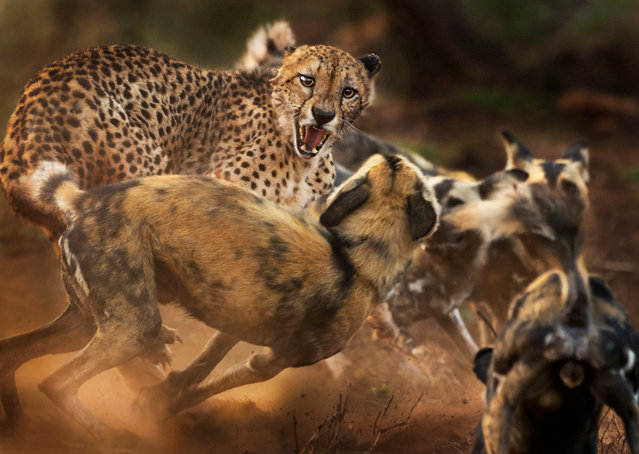 A lone male cheetah is set upon by a pack of African wild dogs. Peter Haygarth had been following the dogs as they hunted in Zimanga Private Game Reserve in KwaZulu-Natal, South Africa. On first encountering the cheetah, the dogs were wary, but as the rest of the pack arrived, their confidence grew and they began to encircle the cat. Peter kept his focus on the cat's face. In a few minutes the spat was over as the cheetah fled. (Behaviour: mammals category). (Photo by Peter Haygarth)