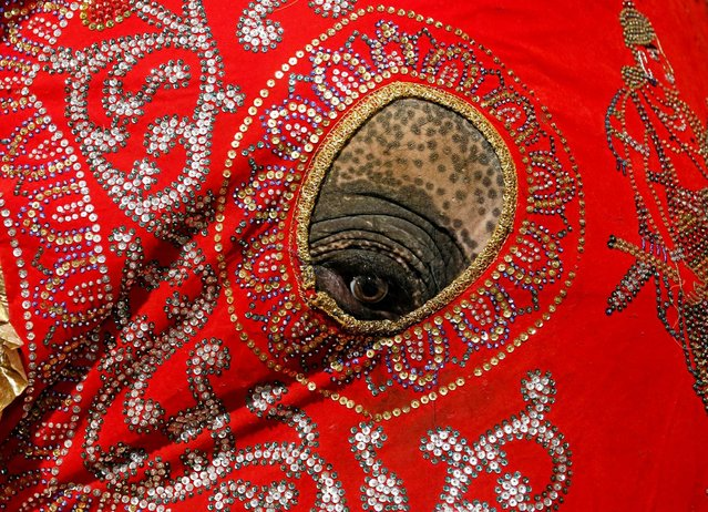An elephant decorated with a cloth walk during the annual Nawam Perahera (street pageant) in Colombo, Sri Lanka February 9, 2017. (Photo by Dinuka Liyanawatte/Reuters)