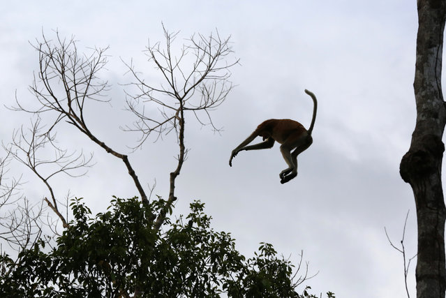 A proboscis monkey leaps between the trees at dusk in Tanjung Puting National Park, in Kalimantan (Indonesian Borneo), Indonesia, September 4, 2013. (Photo by Barbara Walton/EPA)