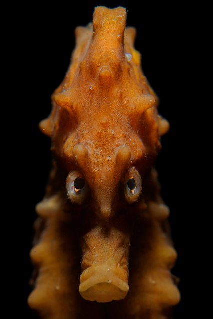 Portrait category runner-up: Angry Seahorse by Rooman Luc (Belgium) in Eastern Scheldt, Netherlands. (Photo by Rooman Luc/Underwater Photographer of the Year 2020)