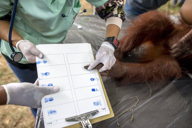 Thai veterinarians collect the fingerprints of an orangutan during a health examination at Kao Pratubchang Conservation Centre in Ratchaburi Thailand, August 27, 2015. (Photo by Athit Perawongmetha/Reuters)