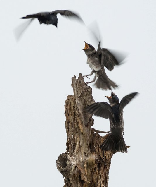 "Second Place, Animals. ""Swallows"". (Photo by Suzanne King/The Palm Beach Post)"