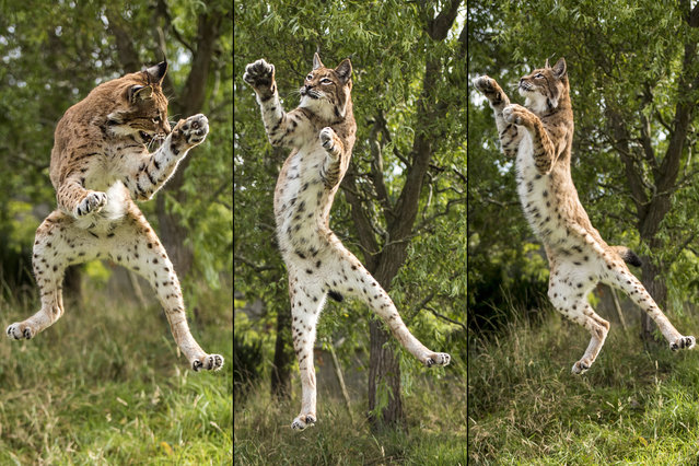 This lynx looks like she's learnt to throw some crazy dance moves – but in fact she's trying to grab a piece of meat a few feet above her head. The photo was taken at the Wildlife Heritage Foundation in Ashford, Kent, on August 22, 2014. (Photos by Colin Langford/Solent News)