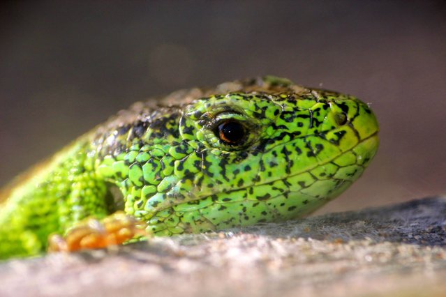 Undated handout photo issued on August 27, 2014 by British and Irish Association of Zoos and Aquariums (BIAZA) of a Sand lizard, one of the top 10 reptiles and amphibians avoiding extinction with the help of zoos. (Photo by James Probert/PA Wire/ARC)