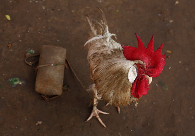 A rooster is tied to a brick outside its temporary shelter on a road divider in New Delhi, India August 1, 2016. (Photo by Adnan Abidi/Reuters)