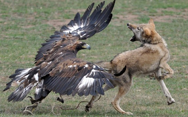 A golden eagle attacks a chained wolf during the first World Nomad Games in the Kyrchin (Semenovskoe) gorge, some 300 km from Bishkek on September 11, 2014. Teams of Azerbaijan, Kazakhstan, Belarus, Mongolia and Tajikistan take part in the games. (Photo by Vyacheslav Oseledko/AFP Photo)