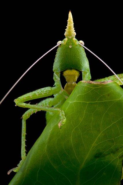 The Suriname conehead katydid. (Photo by P. Naskrecki/Wildscreen Photography Festival 2014)
