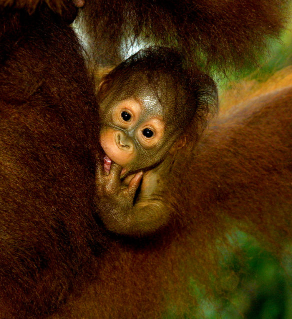 A three week old baby Orangutan hangs onto it's mother September 1, 2001 near Camp Leakey at the Tanjung Puting National Park in Kalimantan on the island of Borneo, Indonesia. (Photo by Paula Bronstein/Getty Images)