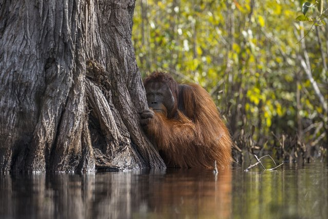 1st Place in Wildlife: A male orangutan peers from behind a tree while crossing a river in Borneo, Indonesia. (Photo by Jayaprakash Joghee Bojan/National Geographic Nature Photographer of the Year contest 2017)