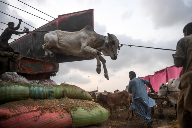 Traders unload a cow from a truck at a cattle market set up for the upcoming Muslim Eid al-Adha festival or the Festival of Sacrifice in Karachi on July 10, 2020. (Photo by Asif Hassan/AFP Photo)