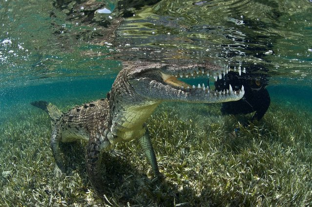 A thrill-seeking photographer risked life and limb as he swam alongside a ten-foot-long American crocodile near Belize. (Photo by Rodrigo Friscione/Mediadrumwor.com)