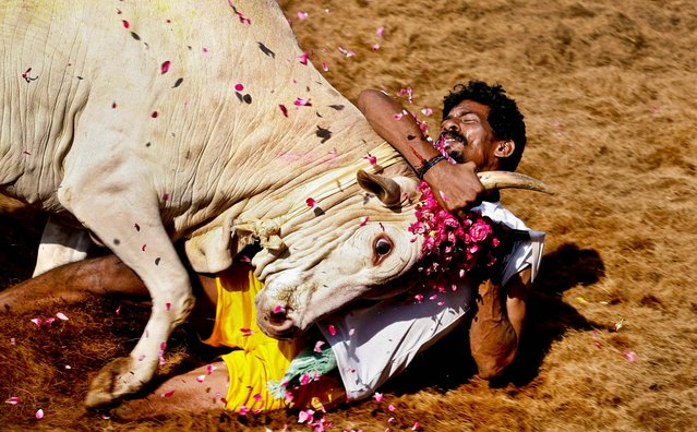 A tamer holds a bull by the horns during the bull-taming sport called Jallikattu, in Alanganallur, India, January 16, 2013. (Photo by Arun Sankar K./Associated Press)