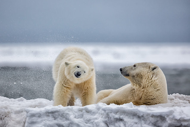 """Polar bear cub and mother"". After a swim in the Beaufort sea this first year polar bear cub shook like a puppy dog to get dry. Photo location: Kaktovik, Barter Island Alaska. (Photo and caption by Michael Henry/National Geographic Photo Contest)"