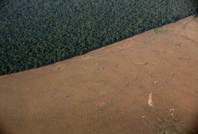 Zebu cattle are seen in a an area that had been cleared for pasture bordering the Amazon forest in this aerial photo taken over Mato Grosso state in western Brazil, October 4, 2015. (Photo by Paulo Whitaker/Reuters)