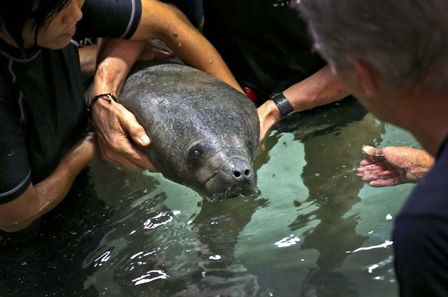River Safari keepers gently release a 4-month old baby female manatee named Mini, into a holding pool in Singapore, on March 13, 2013. The Singapore Zoo is home to 11 manatees in the newly completed Singapore River Safari. (Photo by Wong Maye-E/Associated Press)