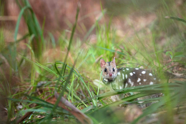 In this handout from WWF- Australia taken on March 13, 2018, an eastern quoll takes its first steps into the wild during a translocation in Jervis Bay in northern New South Wales. A species of quoll devastated by foxes has been returned to the wild in mainland Australia for the first time in almost 50 years in a rare conservation success story. (Photo by Morgan Cardiff/AFP Photo)