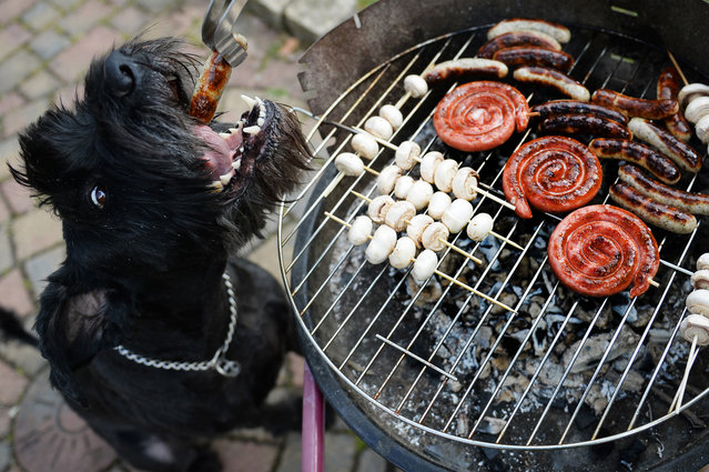 """Dog """"Chili"""" gets a grilled sausage during the first barbecue of this spring in Busbach, southern Germany, on April 14, 2013. Temperatures in parts of the country reached 20 degrees Celsius and even more. (Photo by David Ebener/AFP Photo)"""