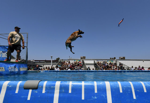Zuma the dog leaps from the dock as he tries to catch her toy during the Splash Dogs competition heats at America' s Family Pet Expo in Costa Mesa, California, on April 28, 2018. (Photo by Mark Ralston/AFP Photo)