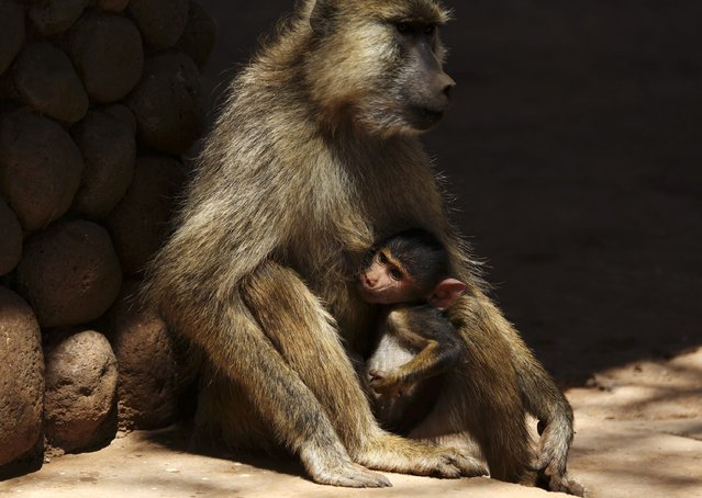 A female olive baboon holds her baby in Amboseli National Park January 26, 2015. (Photo by Goran Tomasevic/Reuters)