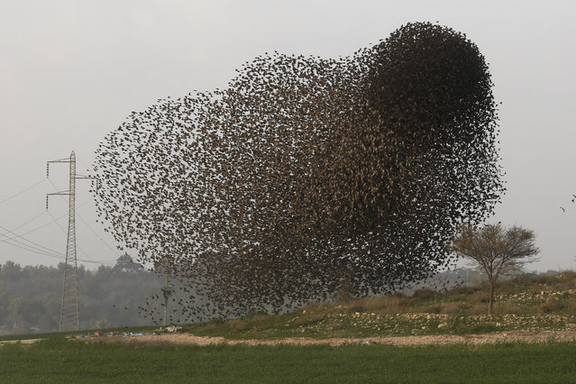 A flock of starlings fly in formation near the Arab town of Rahat, southern Israel, February 3, 2015. (Photo by Abir Sultan/EPA)