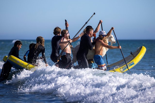 """Dana McGregor (R) paddles out into the surf with friends, kids and his surfing goat Pismo in San Clemente, California, U.S., March 19, 2021. The goats seem to enjoy it too, judging by Pismo's relaxed expression as he hit the waves. """"There's a freedom in surfing that you can't find just anywhere"""", said McGregor, hugging his goats as they stand on the boardwalk, attracting attention from children and other passers-by. (Photo by Mike Blake/Reuters)"""