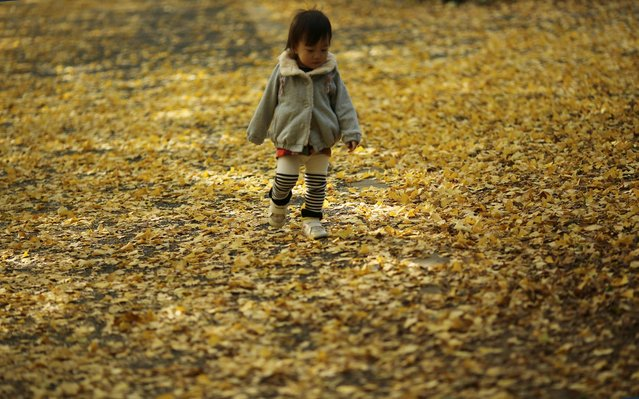A girl plays on fallen leaves on the autumn colored ginkgo tree-lined avenue on a cool day at Showa Memorial Park in Tokyo Friday, November 7, 2014. (Photo by Eugene Hoshiko/AP Photo)