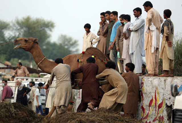 People struggle to load a camel they bought for the upcoming Muslim festival Eid al-Adha in a truck, in Islamabad, Pakistan, Monday, August 20, 2018. Eid al-Adha, or Feast of Sacrifice, is the most important Islamic holiday and marks the willingness of the Prophet Ibrahim (Abraham to Christians and Jews) to sacrifice his son. (Photo by B.K. Bangash/AP Photo)