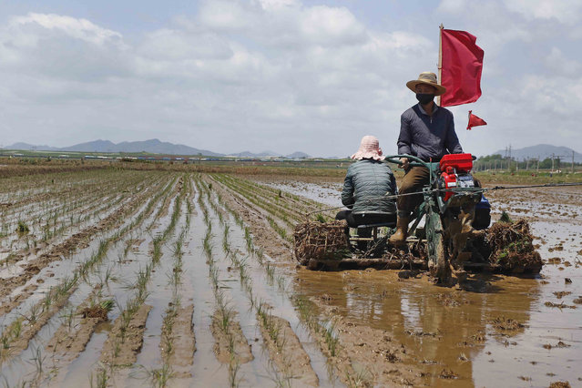 Agricultural workers are rice-transplanting at the Namsa Co-op Farm of Rangnang District in Pyongyang, DPRK, on Tuesday, May 25, 2021. (Photo by Jon Chol Jin/AP Photo)