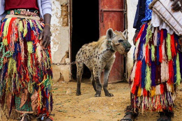 A hyena stands chained to its handler at a circus in Gabasawa, Kano State, Nigeria, July 27, 2021. Hyenas are often viewed as repulsive and sinister, partly due to their scavenging habits in the wild, but in northern Nigeria some men keep the creatures in their homes, display them at festivals and even use their dung to make remedies. (Photo by Afolabi Sotunde/Reuters)