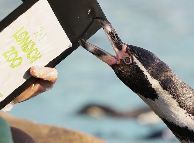 A penguin pecks a keeper's clipboard during a stock take at London Zoo, Thursday, January 2, 2014. (Photo by Kirsty Wigglesworth/AP Photo)