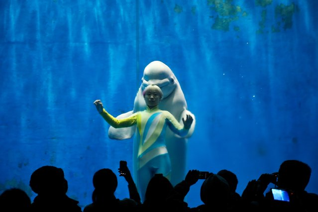 White whales and their trainers present a show for visitors at Harbin Pole Aquarium on January 7, 2014 in Harbin, China. The Aquarium is one of the tourist highlights of Harbin, attracting domestic and foreign tourists each year. (Photo by Lintao Zhang/Getty Images)