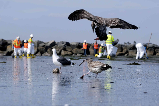 Birds are seen as workers in protective suits clean the contaminated beach after an oil spill in Newport Beach, Calif., on Wednesday, October 6, 2021. A major oil spill off the coast of Southern California fouled popular beaches and killed wildlife while crews scrambled Sunday, to contain the crude before it spread further into protected wetlands. (Photo by Ringo H.W. Chiu/AP Photo)