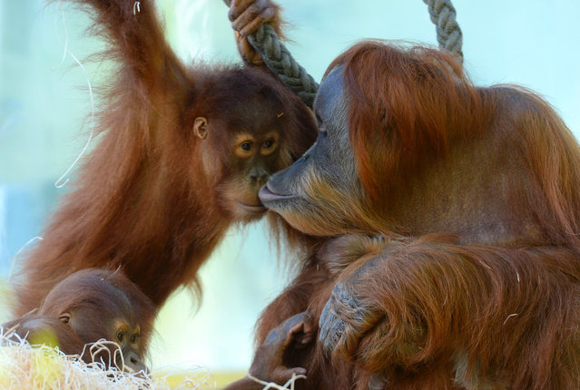 The Sumatra Orang-Utan Matra (R) holds her one week old baby and smooches with her other daughter Jolie in the enclosure at the zoo Hellabrunn in Munich, southern Germany on February 7, 2014. The little Orang-Utan baby was born in the zoo on January 31, 2014 and hasn't been named yet. (Photo by Christof Stache/AFP Photo)