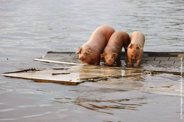 Three pigs stand stranded on the roof of a building after the flood waters from the Mississippi River and Iowa River inundated the town June 20, 2008 in Oakville, Iowa