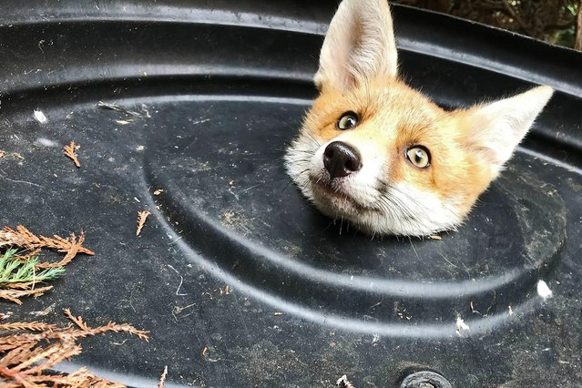 Rummaging in a bin for scraps, this fox in Barnet, north London, England found itself trapped in the lid on May 23, 2019. Luckily the Royal Society for the Prevention of Cruelty to Animals were able to free it. (Photo by RSPCA/PA Wire Press Association)