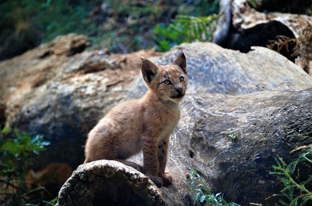In this handout photo taken on Monday, August 5, 2019 and provided by Fundacion Catalunya La Pedrera, a two month old lynx looks up at the Mont Natura complex in Alt Aneu Pallars Sobira, Spain. A Spanish nature conservation center says that the first baby lynx on record has been born in the Pyrenees in nearly a century. The Eurasian lynx is considered extinct in the Spanish and French Pyrenees. (Photo by Fundacion Catalunya La Pedrera via AP Photo)